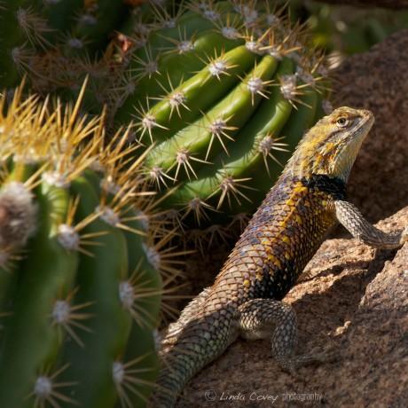 watermark DesertSpiny Lizard