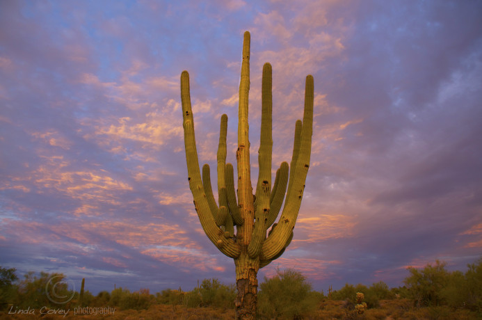 Saguaro Sunset. Photograph by Linda Covey. Arizona