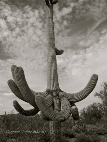 B&W Saguaro