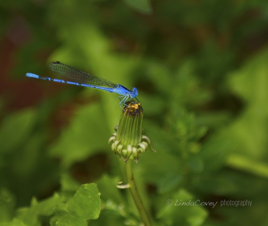 © Blue Dragonfly. Photograph by Linda Covey