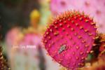 © Bug & Pricklypear Cactus