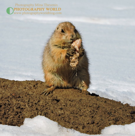 Black-tailed prairie dog eating meat. A PHOTOGRAPHY WORLD article, BLACK-TAILED PRAIRIE DOG: Who Let The Dogs Out? @photographyworld.org @ https://photographyworld.org/animals/black-tailed-prairie-dog-who-let-the-dogs-out/