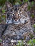 Digiscoping Bobcat Image Title