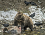 © Grizzly Bear, Yellowstone National Park. Digiscoped Photograph by Robert Wilson
