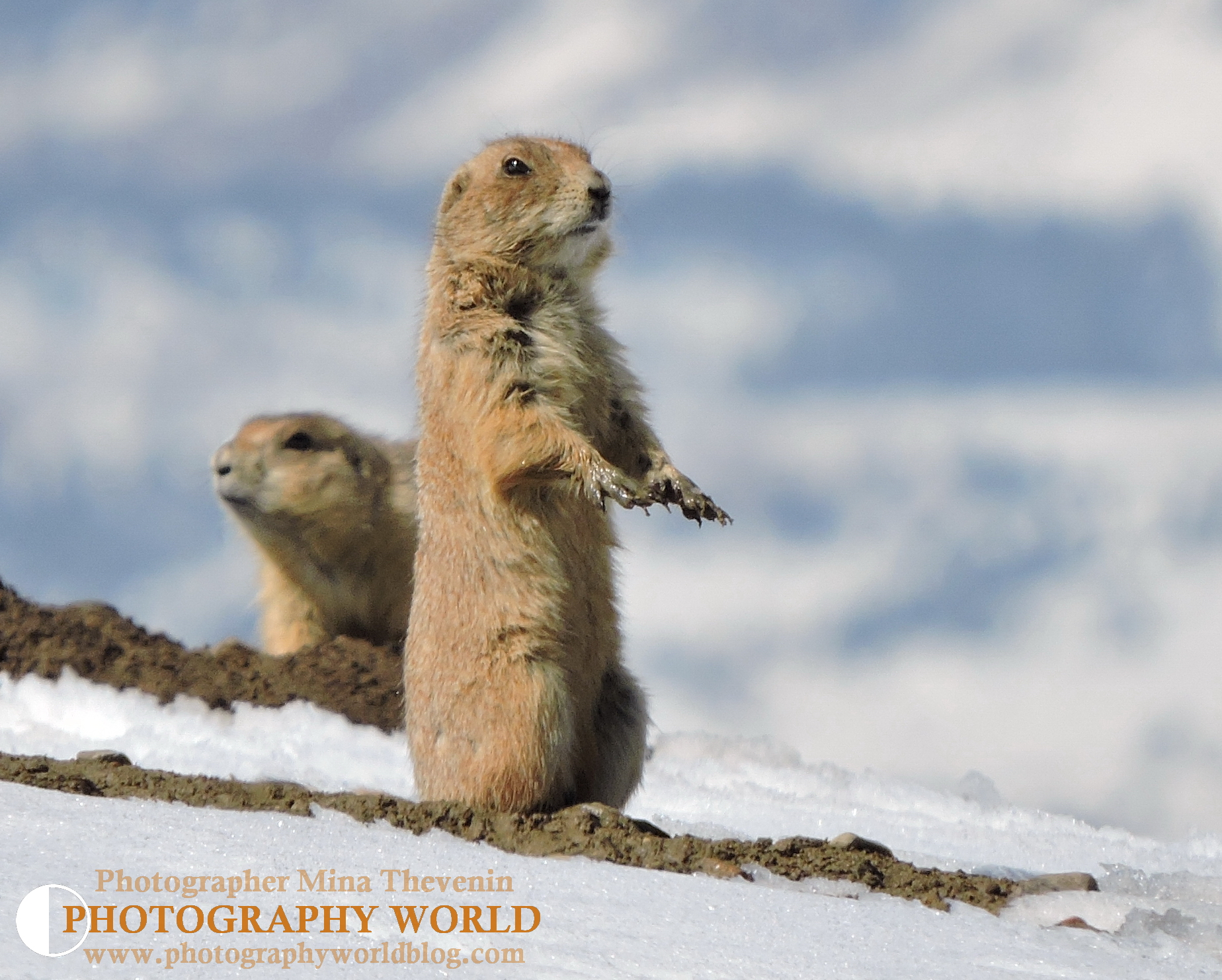© Wet Muddy Paws. Photograph by Mina Thevenin PHOTOGRAPHYWORLD.ORG @ https://photographyworld.org/animals/black-tailed-prairie-dog-who-let-the-dogs-out/