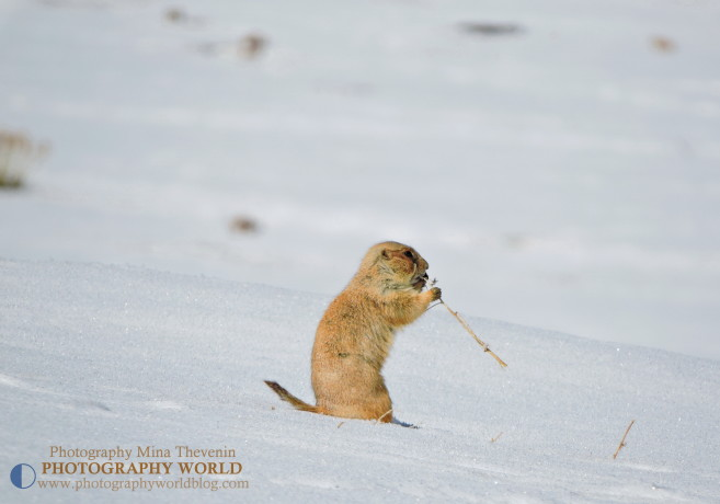 Prairie Dog Eating Grass in winter, 2015. Colorado, for PHOTOGRAPHY WORLD @https://photographyworld.org/animals/black-tailed-prairie-dog-who-let-the-dogs-out/