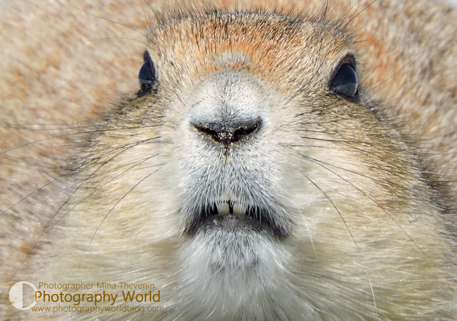 Prairie Dog Face Detail adult. Detail. PHOTOGRAPHY WORLD.ORG @ https://photographyworld.org/animals/black-tailed-prairie-dog-who-let-the-dogs-out/