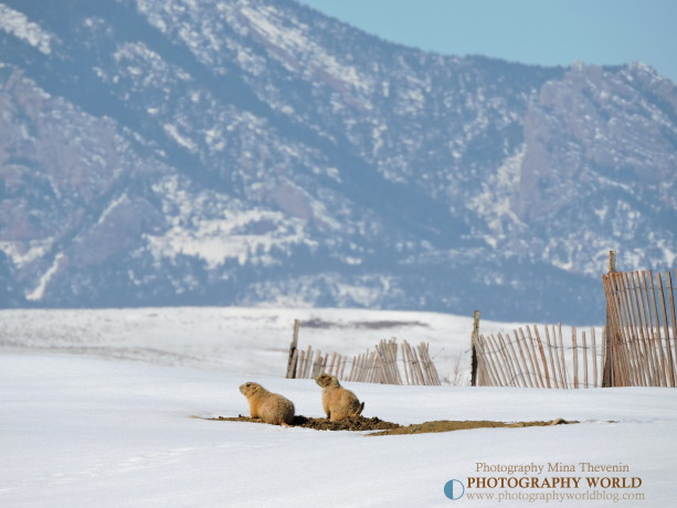 ©Roof-Top Terrace With a View. Colorado. Photographer Mina Thevenin. March 2015 for PHOTOGRAPHY WORLD article BLACK-TAILED PRAIRIE DOG: Who Let The Dogs Out? @ https://photographyworld.org/animals/black-tailed-prairie-dog-who-let-the-dogs-out/