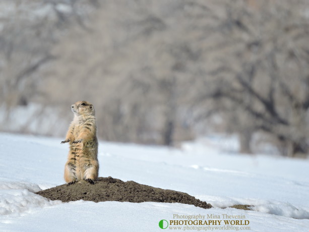 Black-Tailed Prairie Dog: Who Let The Dogs Out? for PHOTOGRAPHY WORLD article @photographyworld.org. Photograph by Mina Thevenin @ https://photographyworld.org/animals/black-tailed-prairie-dog-who-let-the-dogs-out/