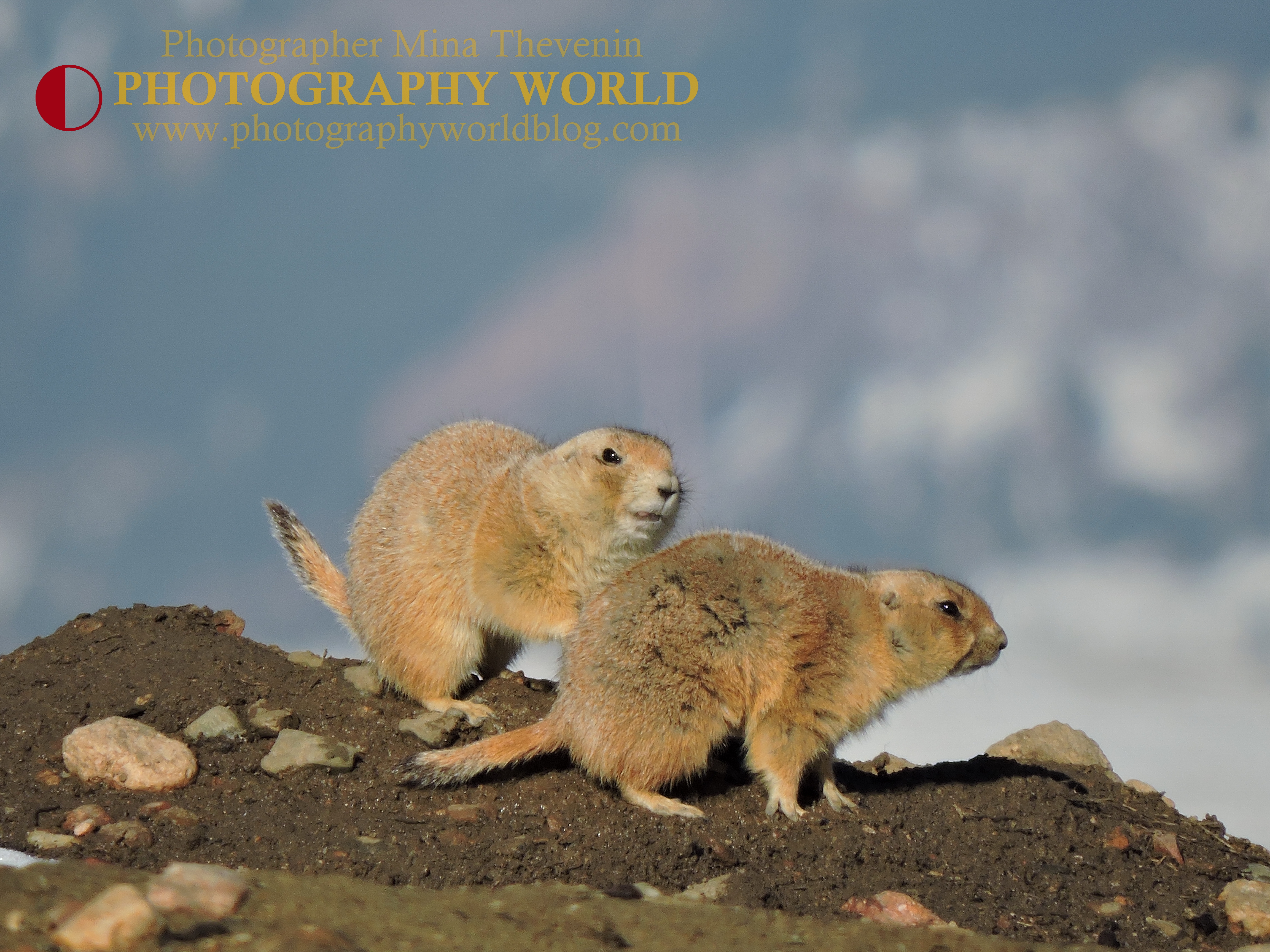 Let's Get It On. Colorado Black-Tailed Prairie Dogs. Photographer Mina Thevenin, March 2015 @ https://photographyworld.org/animals/black-tailed-prairie-dog-who-let-the-dogs-out/