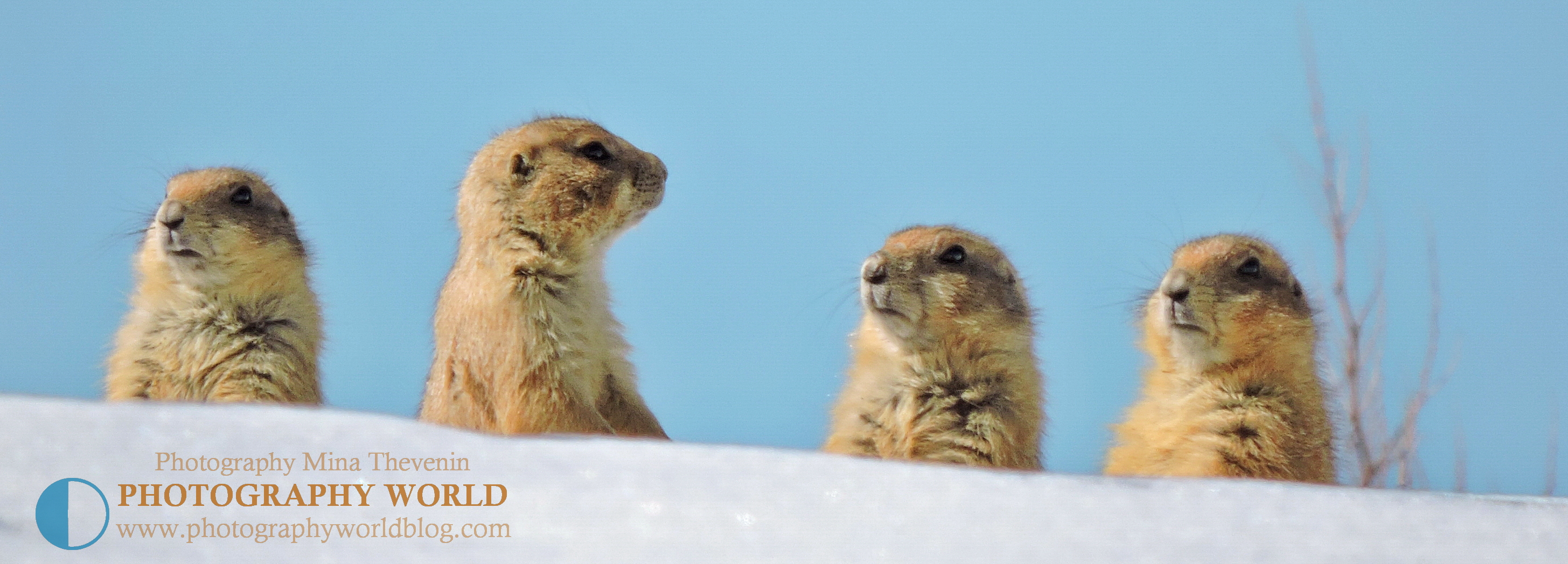 © Juvenile Black-tailed Prairie Dogs in Colorado. Photograph by Mina Thevenin @ https://photographyworld.org/animals/black-tailed-prairie-dog-who-let-the-dogs-out/