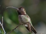© Anna's Hummingbird. Digiscoped by Photographer Glenn Kincaid