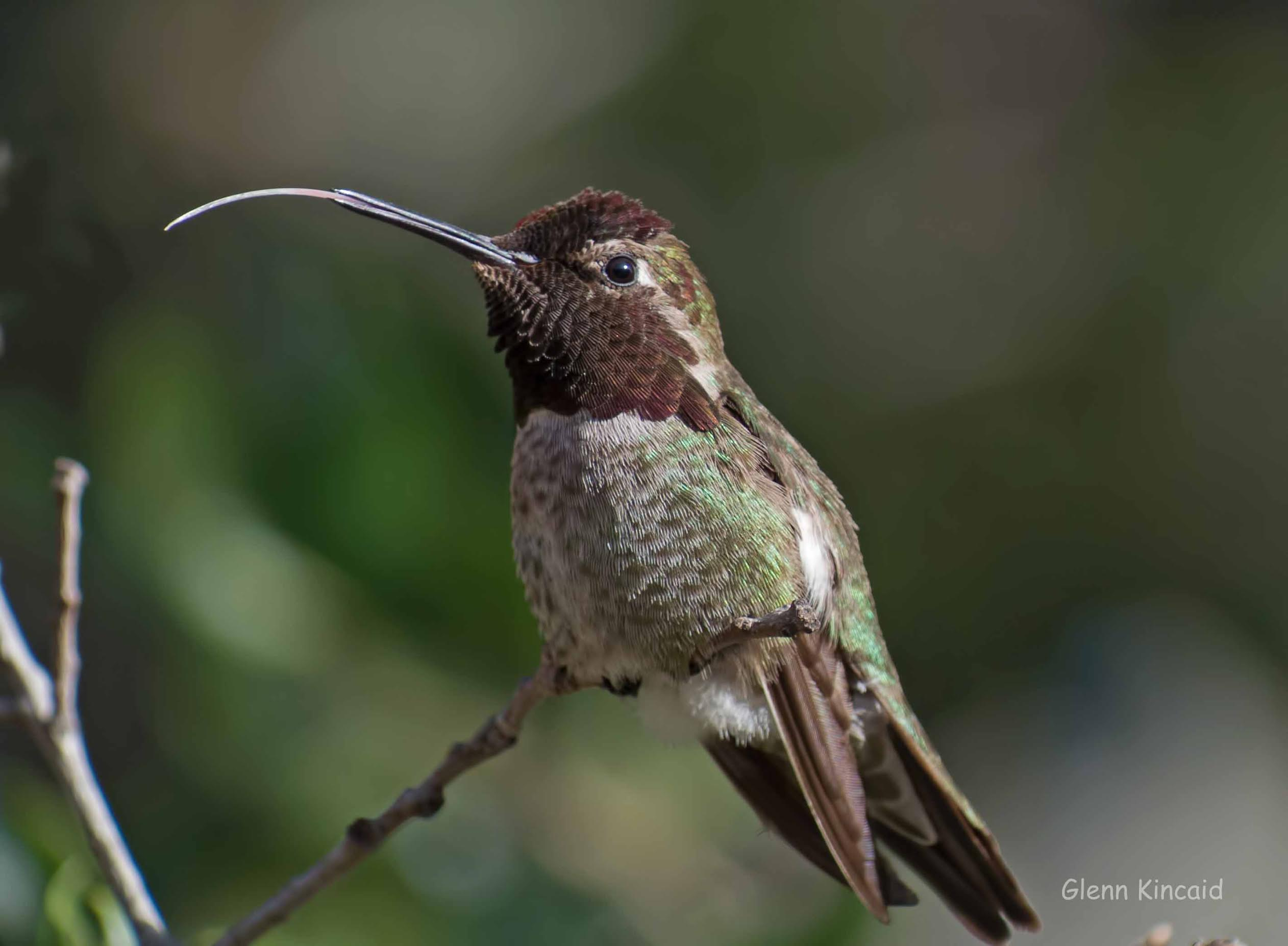 Anna's Hummingbird by Glenn Kincaid