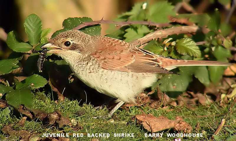 Barry Woodhouse Juvenile Red Backed Shrike