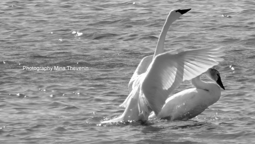 Tundra Swan in Black & White w