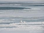 Tundra Swans 3 PW w final
