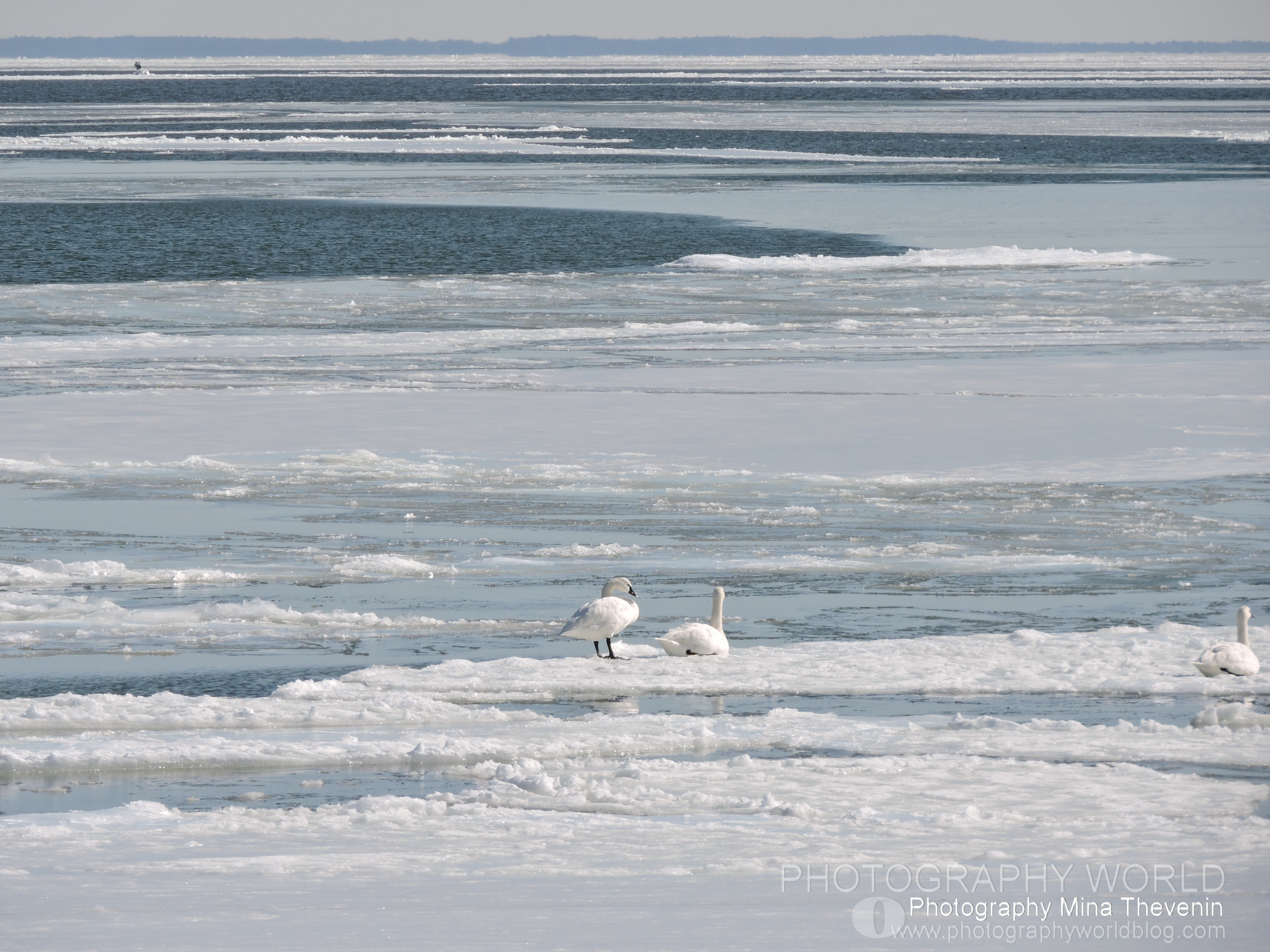 "© Arctic Tundra Swans. Photograph by Mina Thevenin. Photography World article, ""Aurora Borealis & Tundra Swans: Under the Northern Lights"" (photographyworld.org)"