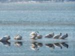 Tundra Swans Reflections (w)
