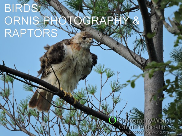 © Red-tailed Hawk Fluffing Feathers. Photograph by Mina Thevenin. for PHOTOGRAPHY WORLD article, BIRDS: ORNIS PHOTOGRAPHY & RAPTORS