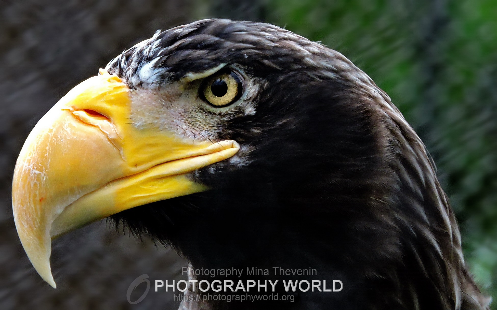 © Steller's Sea Eagle. Photograph by Mina Thevenin for photographyworld.org
