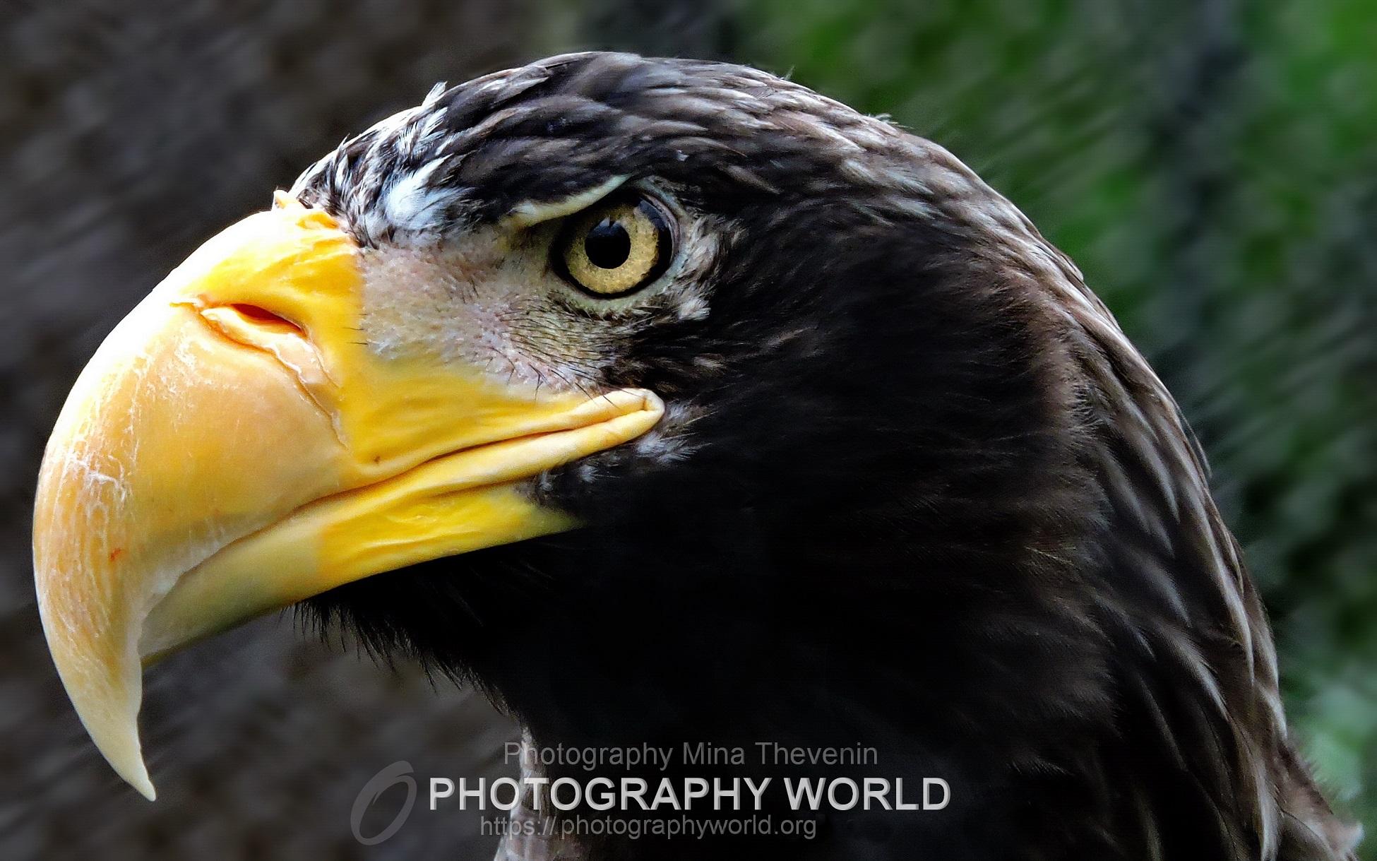 © Steller's Sea Eagle. Photograph by Mina Thevenin for photographyworld.org