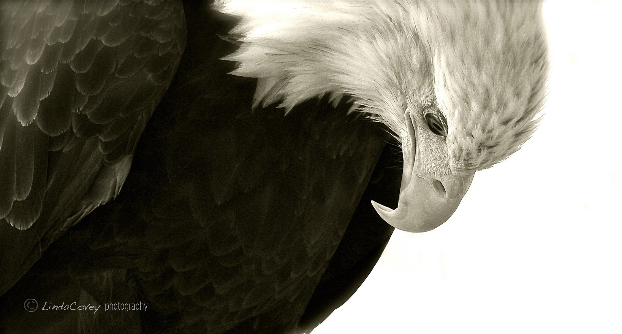 © Aurora. American Bald Eagle