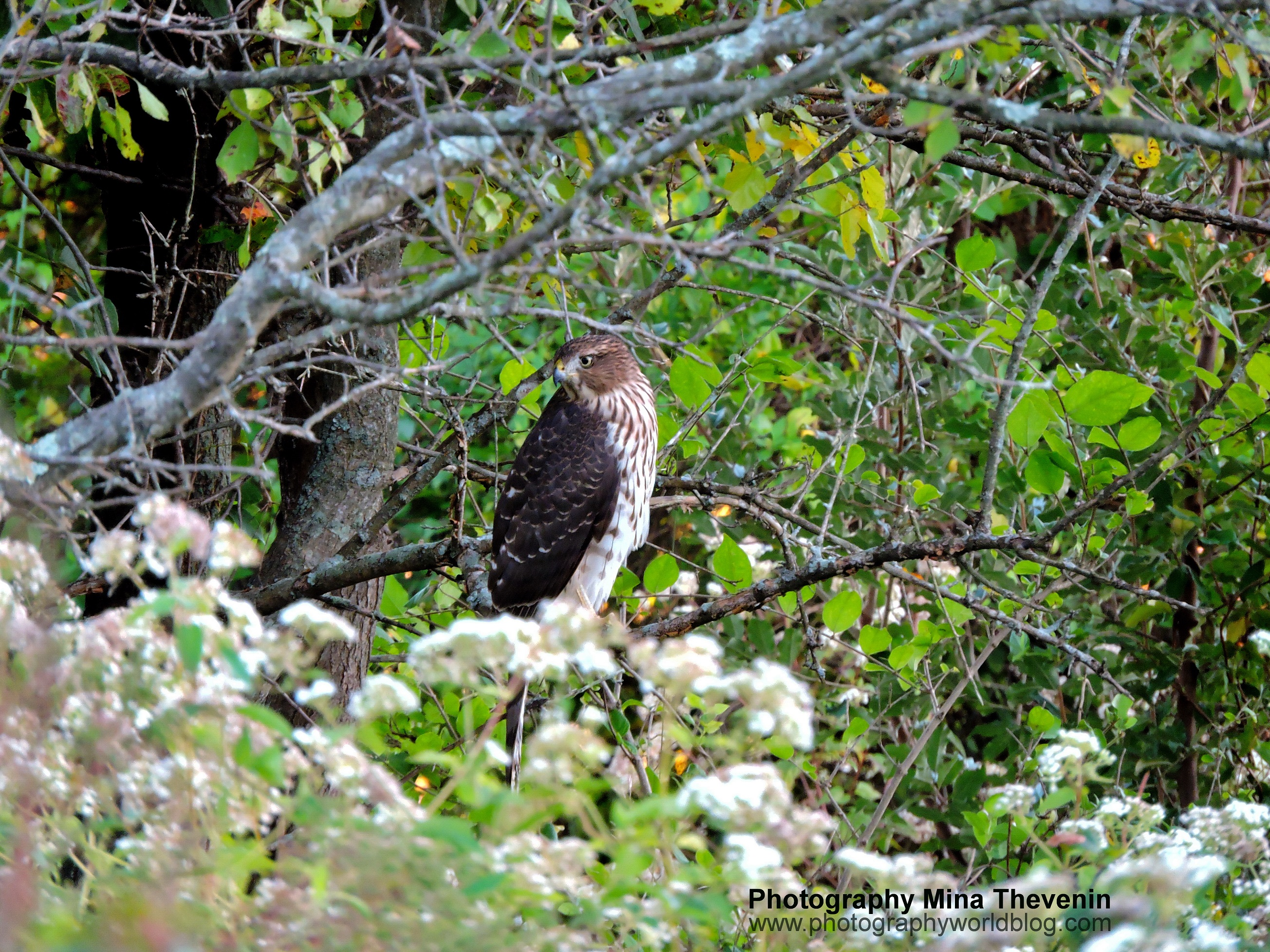 © Cooper's Hawk in Tree Evening . Photograph by Mina Thevenin. Photography World, www.photographyworld.org