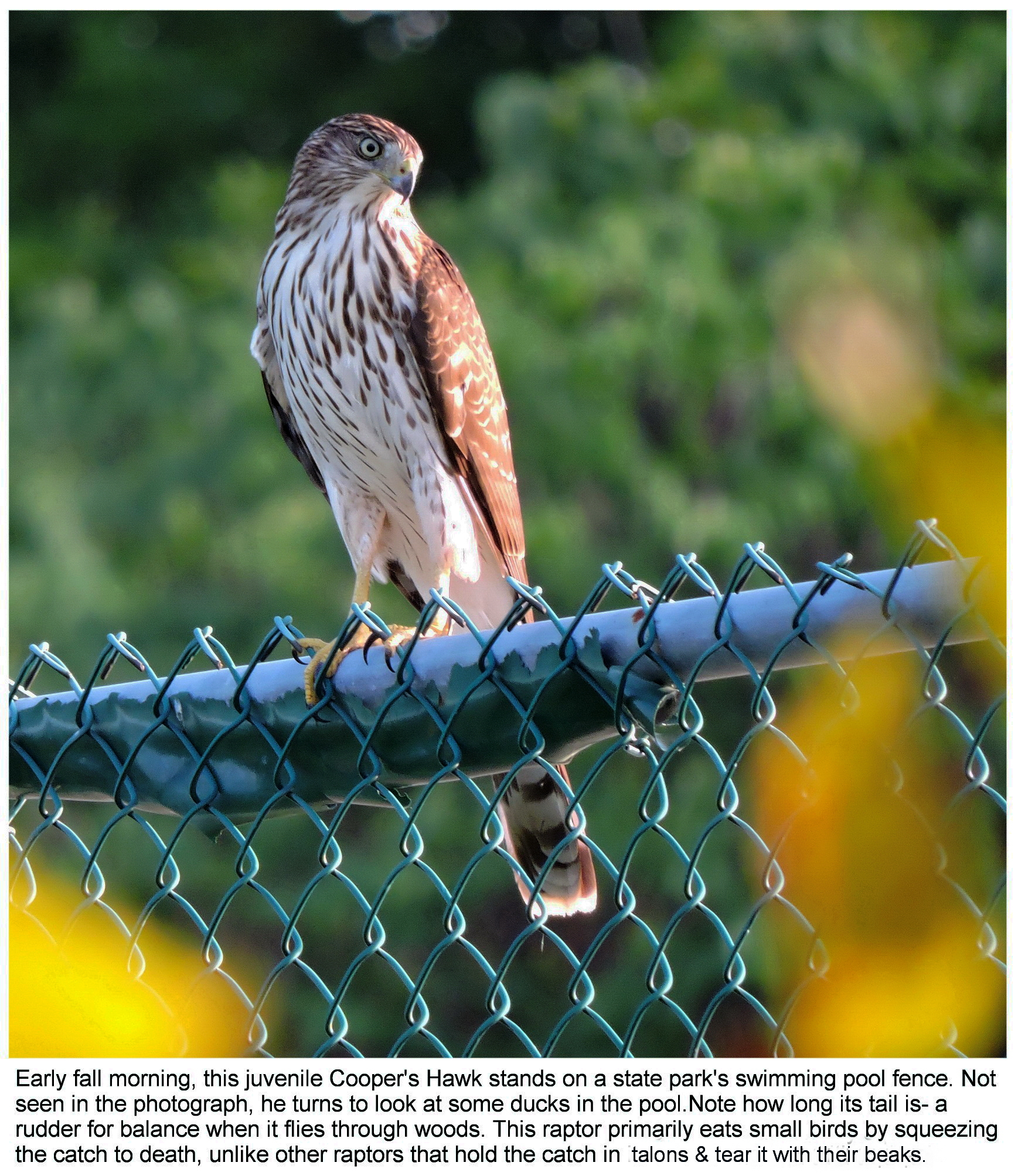 Juvenile Cooper\'s Hawk with facts (social media)corrected