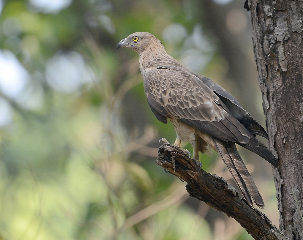 Crested Honey Buzzard. Photograph by Jim Corbett (India) for PHOTOGRAPHY WORLD article, DIGISCOPING IN THE WOW FACTOR @ photographyworld.org