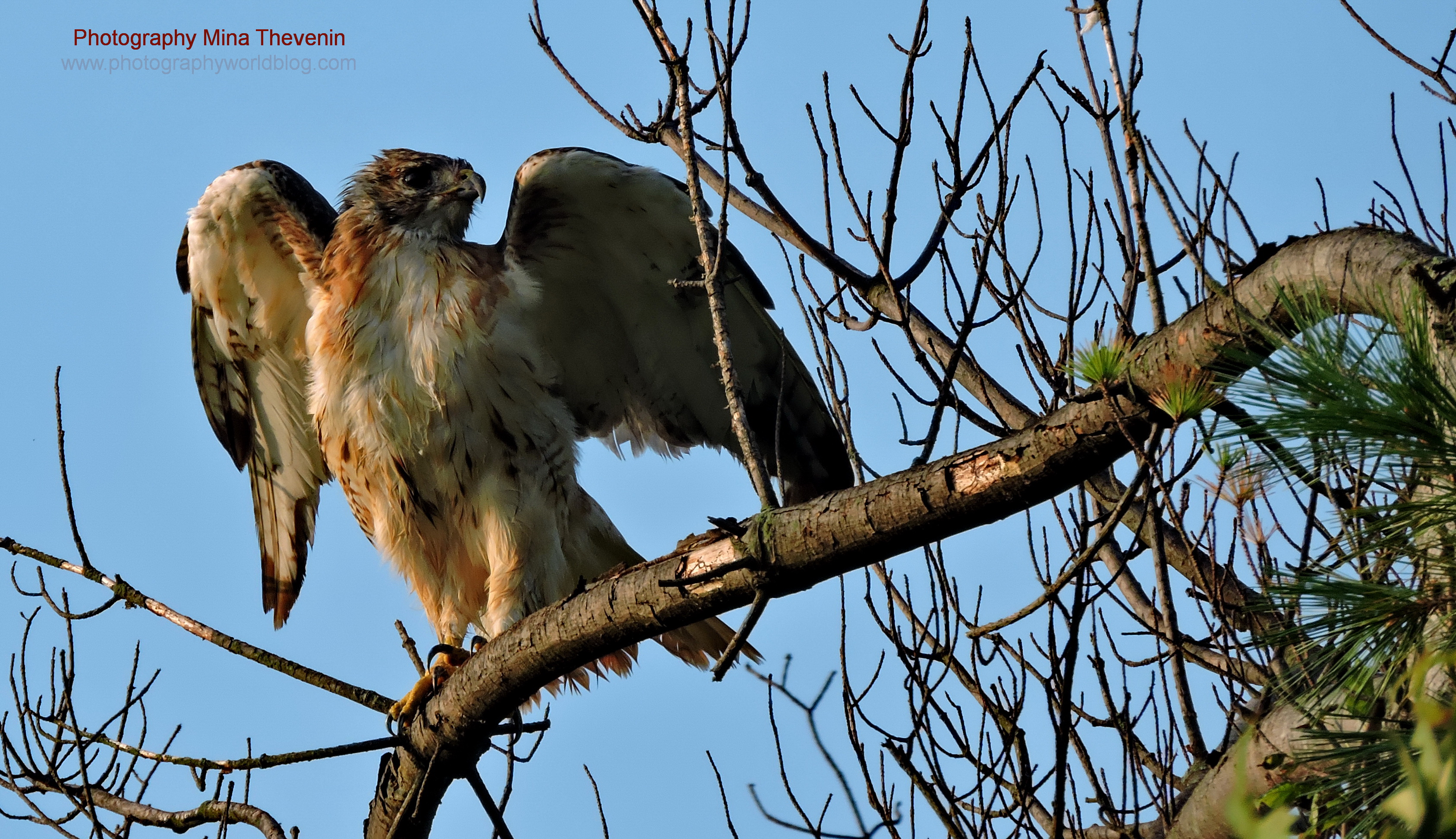 Red-tailed Hawk Wings (w)