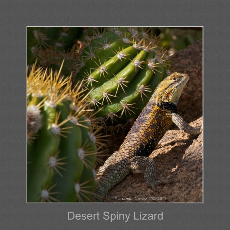 watermark DesertSpiny Lizard (with frame)sm