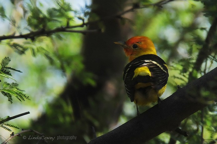 © Western Tanager. Photograph by Linda Covey