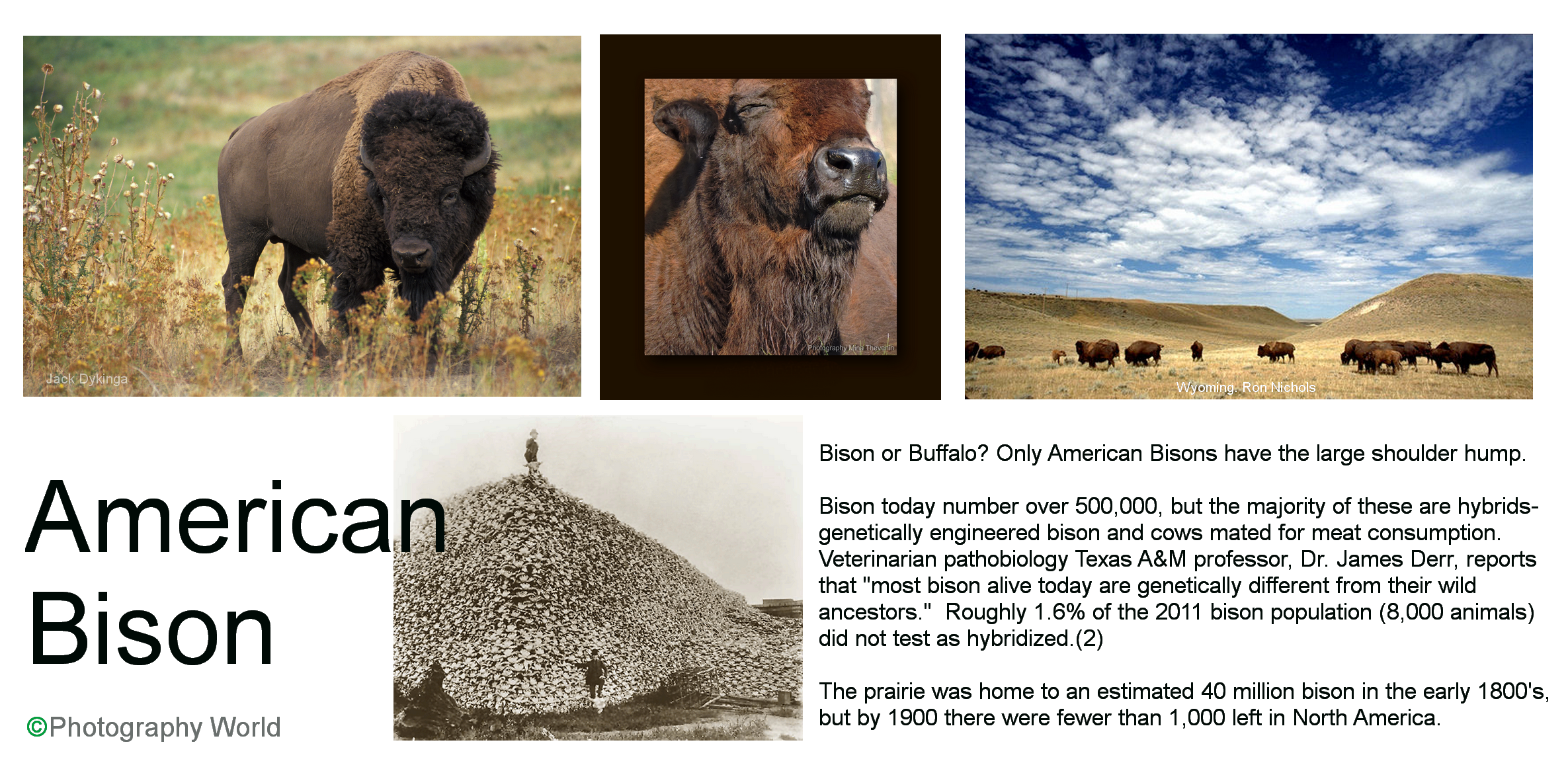 American Bison text PW