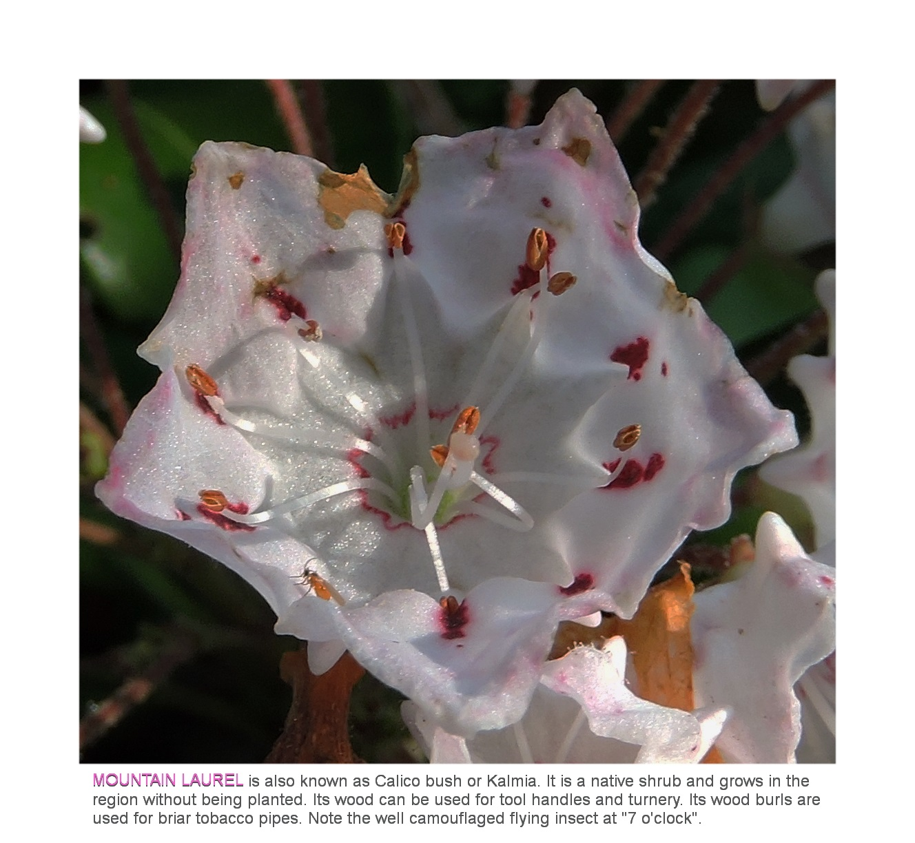 © Mountain Laurel Detail. Photograph by Mina Thevenin. Photography World. www.photographyworld.org