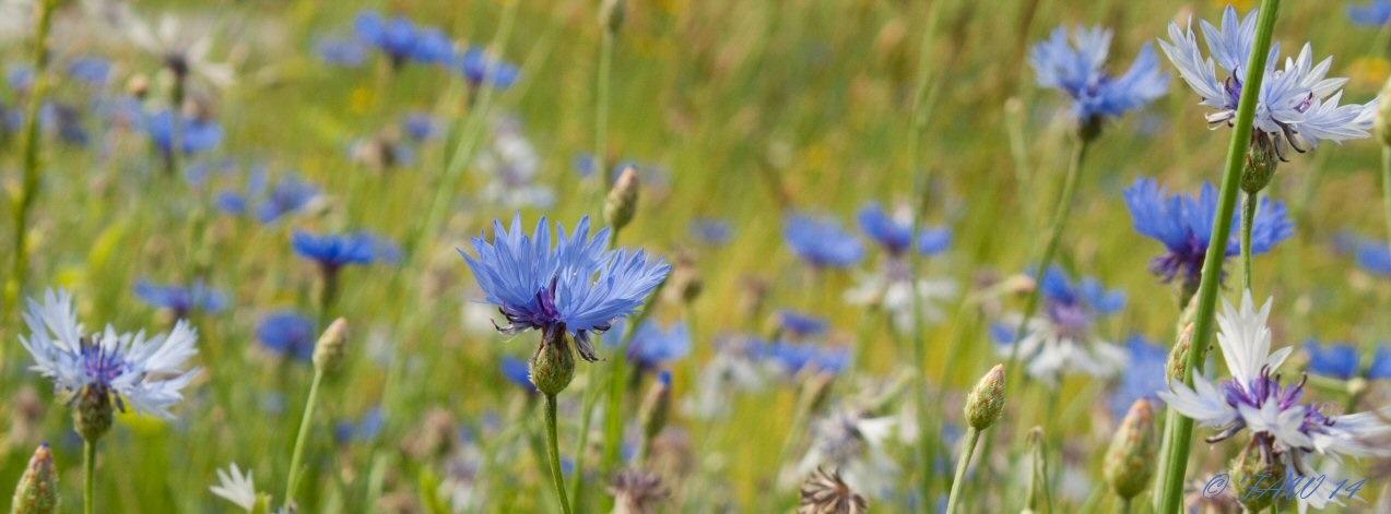© Blue Cornflowers II . Photograph by Fredrick A. Wilson. Photography World. www.photographyworld.org