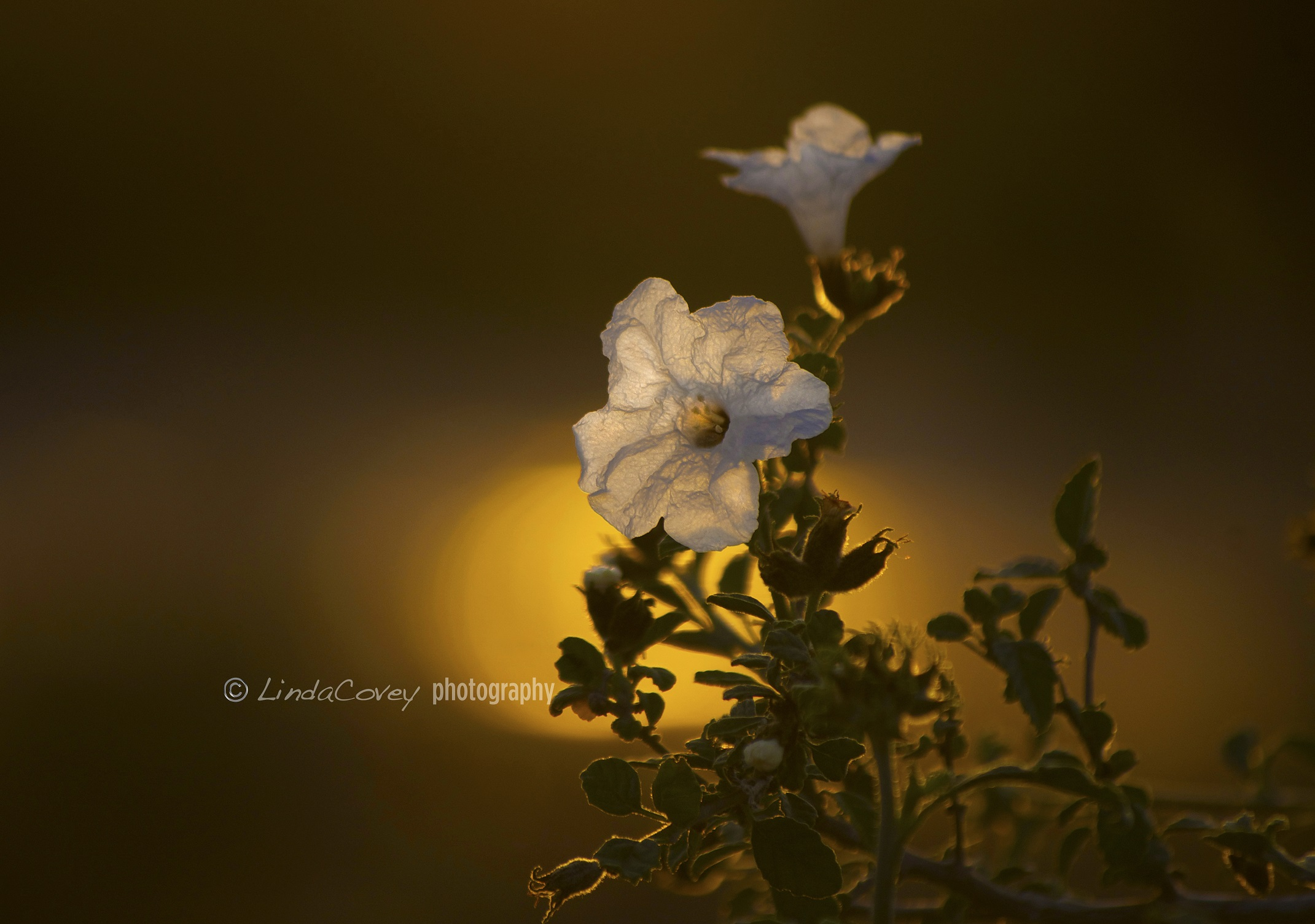 © White Pitnunia in a backlit Sunset. Photograph by Linda Covey. www.photographyworld.org