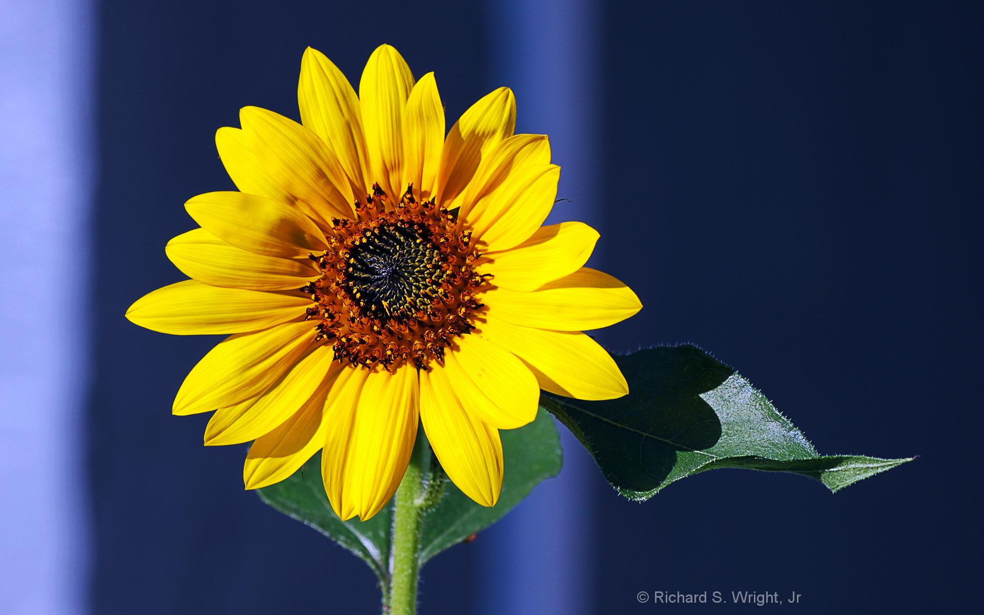 ©Sunflower by Photographer Richard S. Wright, Jr. Photography World. www.photographyworld.org