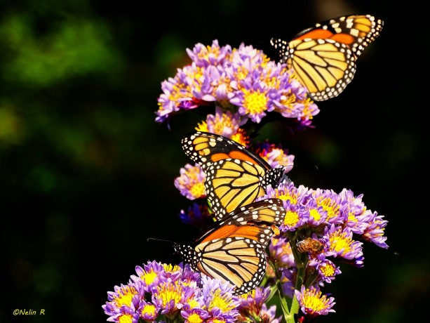 © Monarchs and Aster. Photograph by Nelin Reisman. www.photographyworld.org