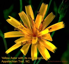"© Yellow Aster with curly stigma. Photograph by Mina Thevenin. Photography World article: ""APPALACHIAN TRAIL|Take a Walk on the Wild Side|Nantahala|Tellico Gap to Wayah Bald"" photographyworld.org"