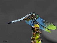 """© Dragonfly by New York Photographer Nelin Reisman. A PHOTOGRAPHY WORLD article, """"NELIN REISMAN- New York Photographer & Artist"""""""