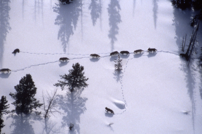 Aerial of the Crystal Creek wolf pack. Photographer unknown. 1999