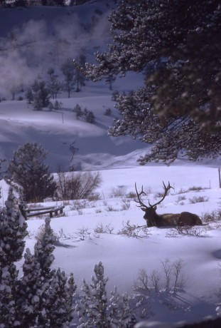 Bull elk on Parade Grounds; Chris Judson; January 1975