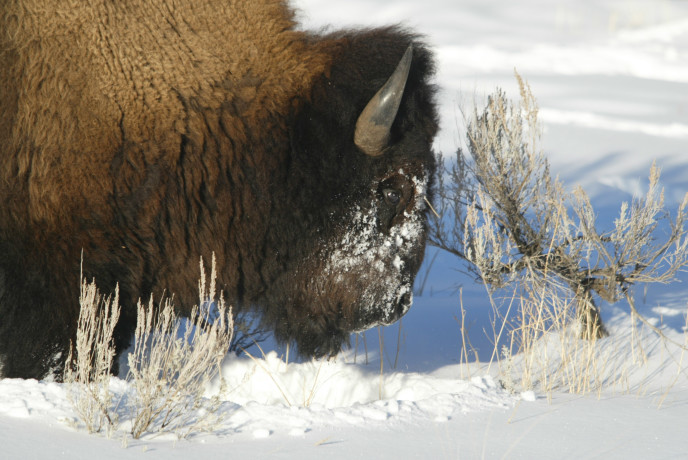 Close up of bull bison in Lamar Canyon; Jim Peaco; February 2004