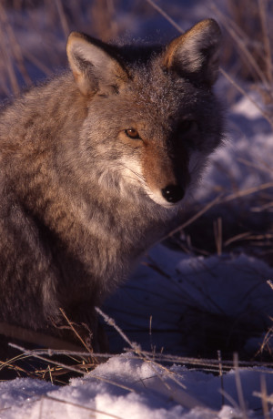 Coyote in Lamar Valley in winter; Jim Peaco; December 1997