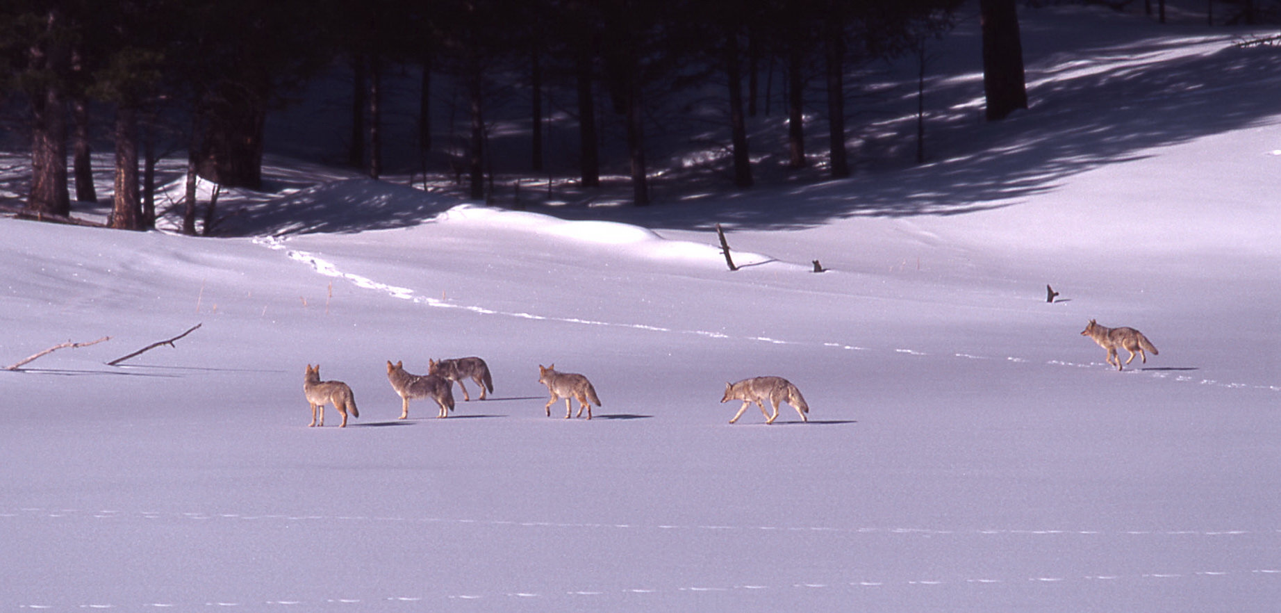 Coyote pack in snow at Floating Island Lake; Jim Peaco; March 1999
