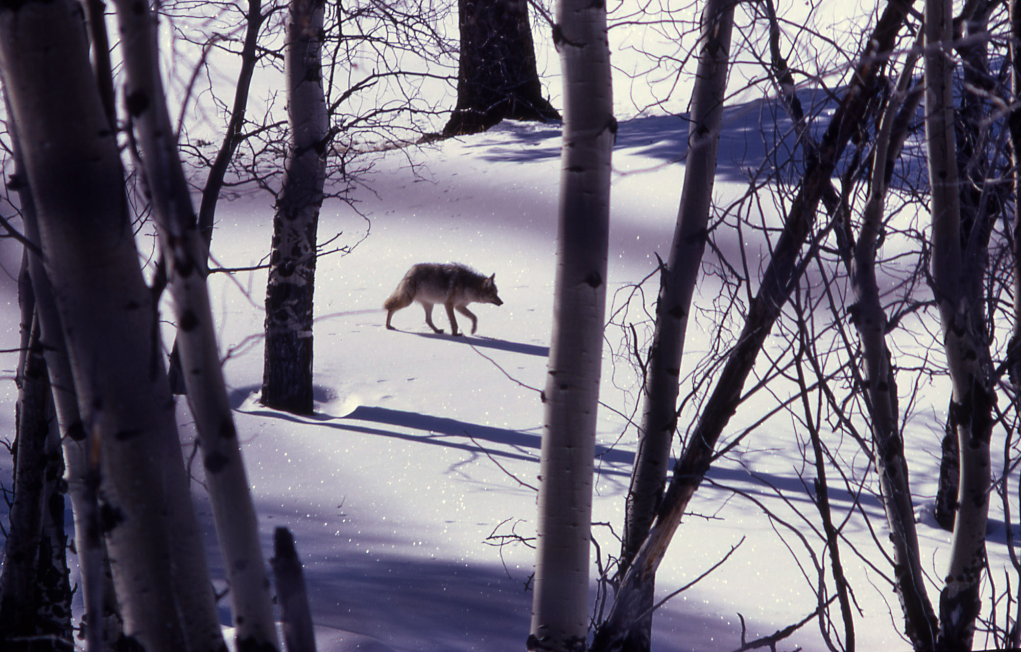 Coyote walking in snowy meadow; JR Douglass; 1968