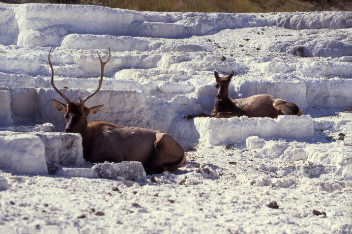 Elk on Opal Terrace; Jim Peaco; September 1997