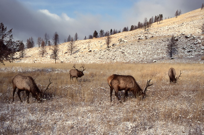 Four bull elk near Lava Creek; Jim Peaco; November 1990