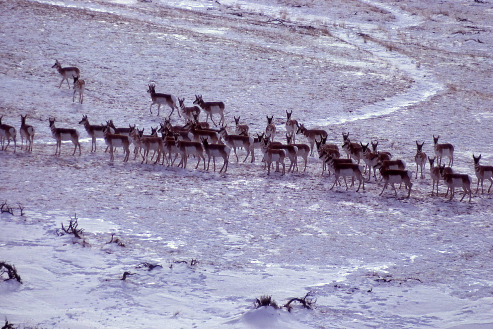 Pronghorn on Mount Everts; Miller; 1963