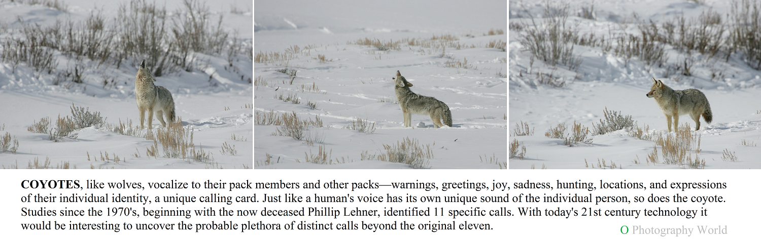 Coyotes howling three images for Photography World article, YELLOWSTONE- 75 Years of Photography